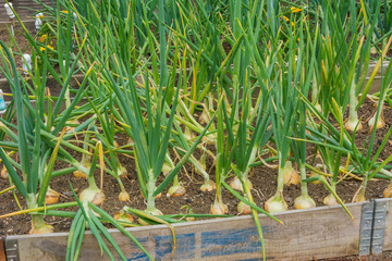 Onions growing on a garden allotment