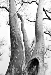 Winter Trees in Monochrome