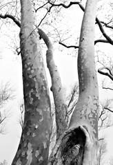Winter Trees in Monochrome