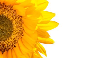 Nutzpflanze Sonnenblume