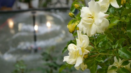 Yellow roses by the water fountain