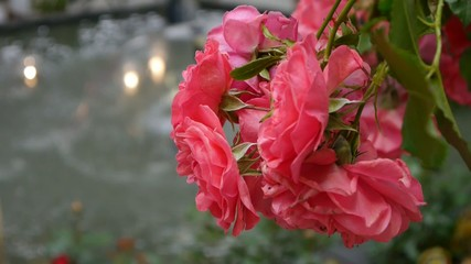 Red roses by the water fountain
