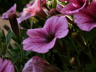 lila Glockenblume