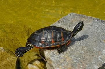 Schildkröte auf Stein am Wasser