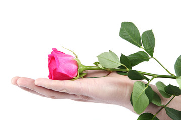Pink rose in hand on a white background.