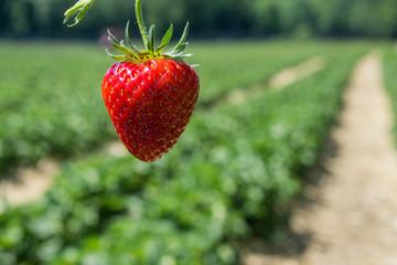 Die Erdbeeren sind reif