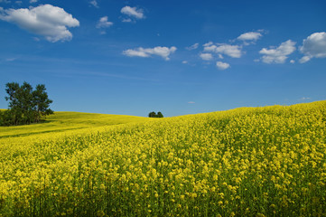 Wavy blooming rape fields, rising to the horizon