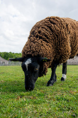 black sheep on grass field