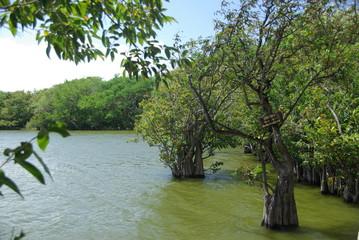 Mangrove au Nicaragua