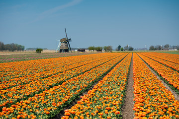 Tulips and windmill ,Netherlands