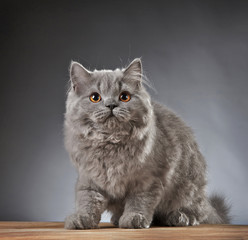 Portrait of british longhair kitten