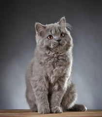 Portrait of gray british longhair kitten