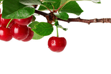 Cherry branch with leaves and few berries isolated on the white