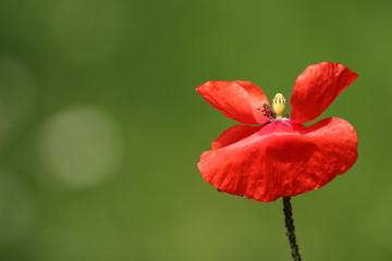 Klatschmohn (Papaver rhoeas) Mohnblüte poppy flower