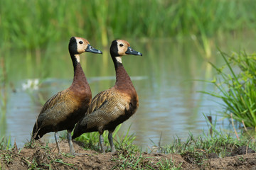 Two White-faced Whistling Ducks (Dendrocygna viduata) beside a p