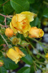 Yellow roses covered with raindrops