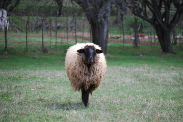 Black head sheep