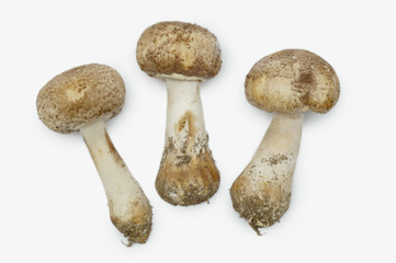 Three mushrooms, white background