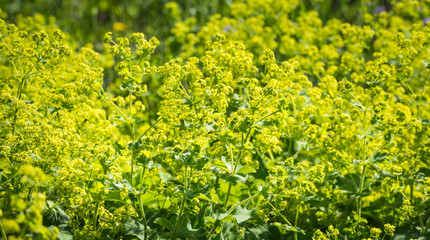 Budding and flowering Alchemilla Mollis plants