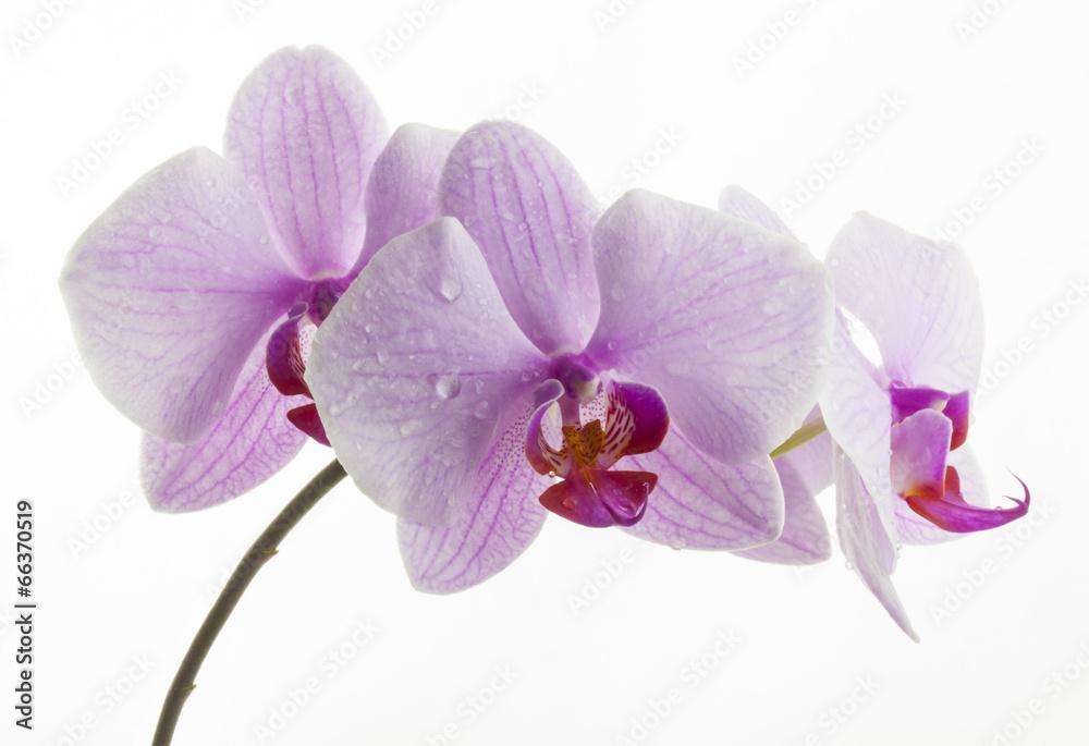 na białym tle kwitnący kwiatowy - powiększenie