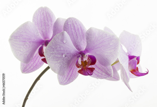 Kwiat orchidei