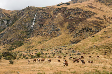 herd of cows grazing near waterfall