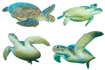 Sea Turtles isolated on white