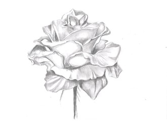 Pencil drawn illustration of rose