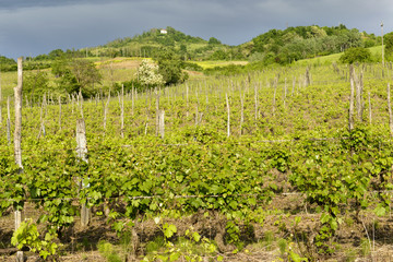 hilly vineyard near Volpedo, Piedmont, Italy