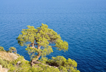 Crimean pine on rock over the sea