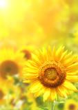 Bright yellow sunflowers - Fine Art prints