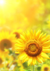 Bright yellow sunflowers