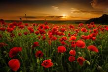 """Постер, картина, фотообои """"Poppy field at sunset"""""""