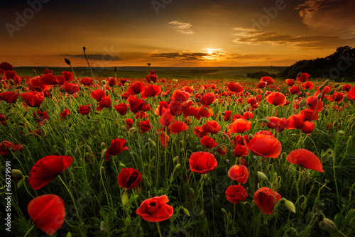 Fototapety, obrazy : Poppy field at sunset