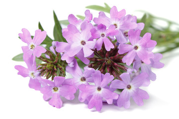 delicate purple flowers verbena isolated