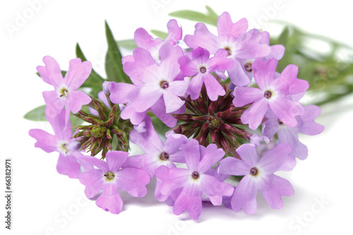 Foto op Canvas Lilac delicate purple flowers verbena isolated