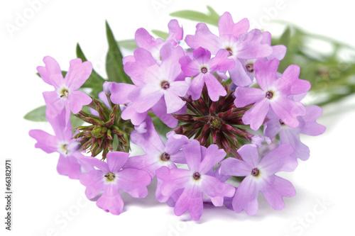 Papiers peints Lilac delicate purple flowers verbena isolated
