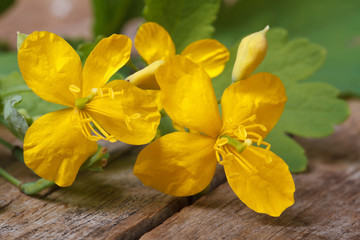 yellow celandine flowers closeup on a wooden table