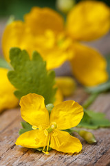 yellow celandine flowers macro on a wooden table. vertical