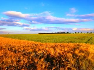 Gerste und Weizen