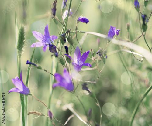 bluebells flowers grow in the grass © Maya Kruchancova