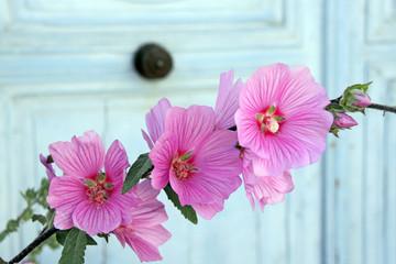 rosa stockrosenblüten vor hellblauer haustür