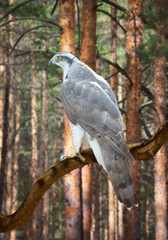 Goshawk  in pine forest