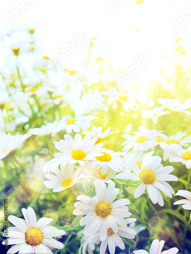 Poster Madeliefjes Art Bright summer flowers Natural background