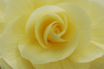 Yellow begonia petals
