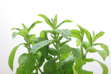 petals and leaves of fresh mint on a white background