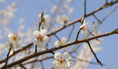 Prunus mume, 매화