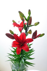 flowers and buds of red lily on white background green stem