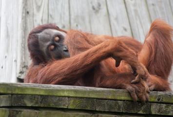 Orang outan - Pongo pygmaeus - allongé et pensif