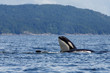 Jumping orca whale or killer whale - 66399145
